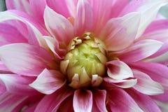Texture d'un grand plan rapproché lilas de fleur de dahlia photographie stock libre de droits