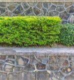 Texture d'un mur fait un pas avec un buisson vert Images libres de droits