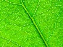 Feuille verte comme fond Photos libres de droits