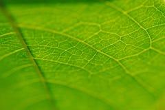 Texture d'une fin verte de feuille  Image libre de droits