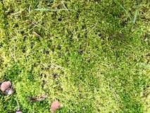 Texture d'une mousse juteuse lumineuse de vert naturel de marais d'une usine épaisse pelucheuse d'herbe dans la forêt le fond image libre de droits