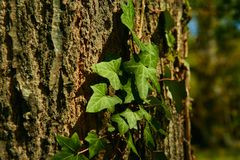 Texture dans le soulagement de l'?corce brune d'un arbre avec la vigne montant le tronc d'un ch?ne photos stock