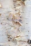 texture de bouleau Photos libres de droits