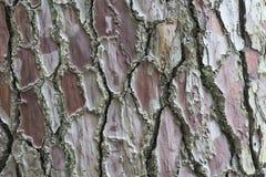 Texture de Brown d'écorce de pin avec le modèle intéressant Image stock