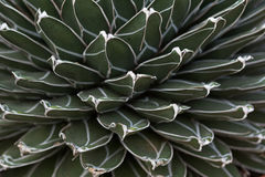 Texture de cactus Image stock