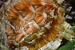 Texture de coquille de fond de carapace de tortue image libre de droits