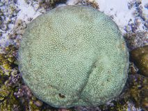 Texture de corail ronde Photo sous-marine de bord de la mer tropical Animal de récif coralien Photos stock