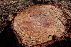 Texture de coupe en bois Photo libre de droits