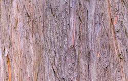 Texture de cyprès chauve Images stock