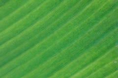 texture de feuille cultivée de banane Photographie stock