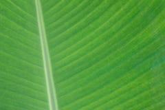 texture de feuille cultivée de banane Image libre de droits