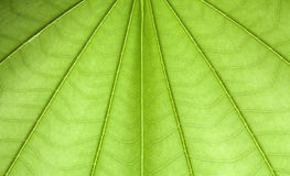 Texture de feuille d'arbre de papillon Photos libres de droits