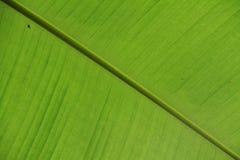 Texture de feuille de banane Image libre de droits