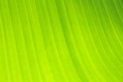 Texture de feuille de banane Photographie stock libre de droits