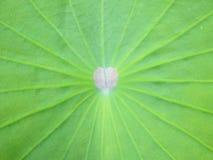 Texture de feuille de Lotus Images libres de droits