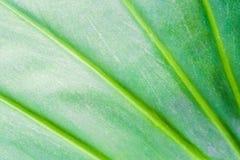 Texture de feuille et point de chlorophylle image stock