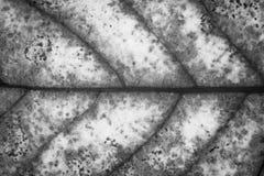 Texture de feuille ou fond de feuille Image stock