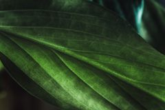 Texture de feuille de plante verte, macro tir Fond de nature, flore de ressort image libre de droits