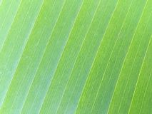 Texture de feuille verte de banane Photographie stock libre de droits