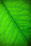 Texture de feuille verte fraîche pour le fond naturel toned Photo stock