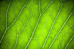 Texture de feuille verte fraîche pour le fond naturel toned Image libre de droits