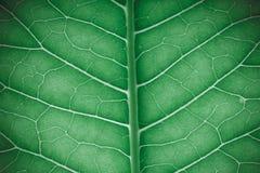 Texture de feuille verte fraîche pour le fond naturel toned Images stock