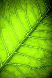 Texture de feuille verte fraîche pour le fond naturel toned Images libres de droits