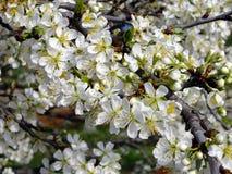 Texture de fleur de prune Photo libre de droits