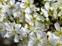 Texture de fleur de prune Photographie stock libre de droits
