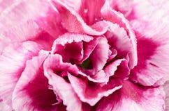 Texture de fleur rose Images libres de droits