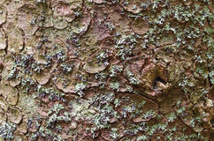 Texture de fond d'écorce d'arbre Pelez l'écorce d'un arbre qui trace la fissuration Photos libres de droits