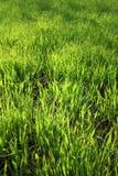 Texture de fond d'herbe verte Photo libre de droits