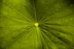 Texture de fond de feuille de lotus d'usine photo stock