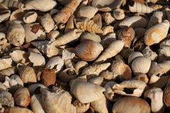 Texture de fosils de Shell image libre de droits