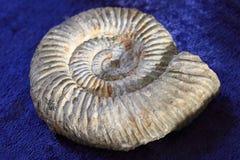texture de fossile d'ammonites Photo libre de droits