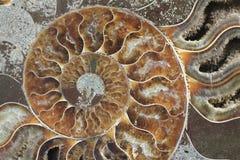 texture de fossile d'ammonites Image libre de droits