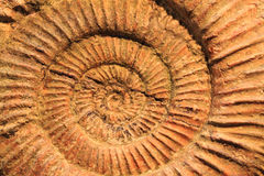 texture de fossile d'ammonites Photo stock