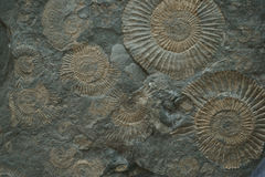 texture de fossile d'ammonites Images libres de droits