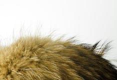 Texture de fourrure Fourrure de chien de raton laveur Images stock