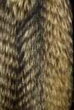 Texture de fourrure Fourrure de chien de raton laveur Images libres de droits