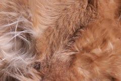 Texture de fourrure de chien Images stock