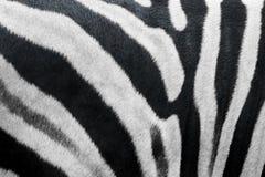 Texture de fourrure de zèbre Photos libres de droits