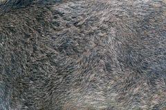 Texture de fourrure de sanglier images libres de droits