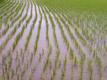 Texture de gisement de riz photos stock
