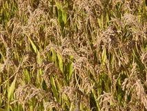 Texture de gisement de riz Photographie stock libre de droits