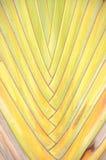 Texture de l'arbre du voyageur ou du ventilateur de banane Images libres de droits