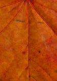 Texture de lame d'érable Photo libre de droits