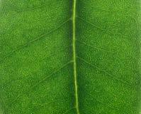 Texture de lame de Ficus, lumière arrière photographie stock libre de droits