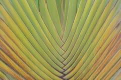 Texture de madagascariensis Sonn de Ravenala de tronc d'arbre du ` s de voyageur pour la conception de fond de nature photos libres de droits