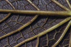 Texture de nervure de feuille Photographie stock